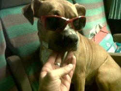 Gun's N Roses , chien American Staffordshire Terrier