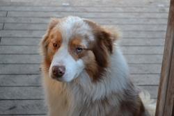 Gunner, chien Berger australien