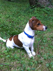 Guns, chien Jack Russell Terrier