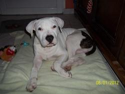 Gunter, chien American Staffordshire Terrier