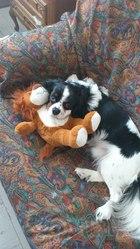 Gunter, chien Cavalier King Charles Spaniel