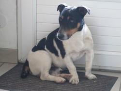 Gunther, chien Jack Russell Terrier