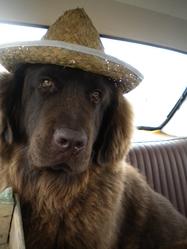 Gunther-Lee, chien Terre-Neuve