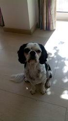 Gurki, chien Cavalier King Charles Spaniel