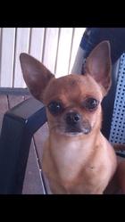 Guru, chien Chihuahua