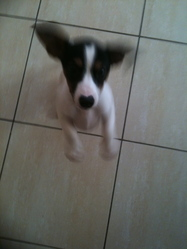 Gus, chien Jack Russell Terrier