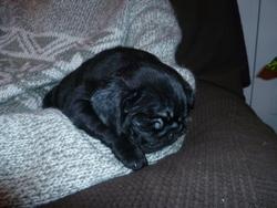 Gus, chien Carlin