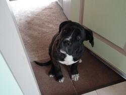 Gus, chien Cane Corso
