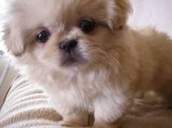 Gus, chien Pékinois