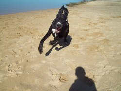 Gus, chien Dogue allemand