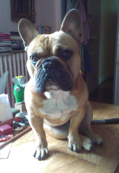 Gus, chien Bouledogue français