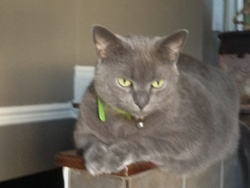 Gus, chat Chartreux