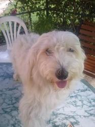 Gus, chien Bichon à poil frisé