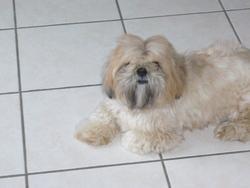 Gus, chien Lhassa Apso