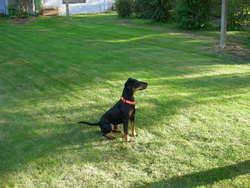 Gus, chien Jagdterrier
