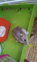 Gus, rongeur Hamster