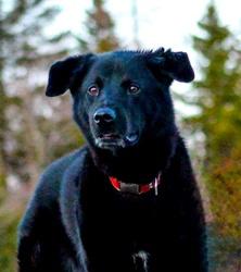 Gus, chien Labrador Retriever