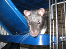 Gus Gus, rongeur Rat