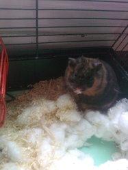 Gusgus, rongeur Hamster