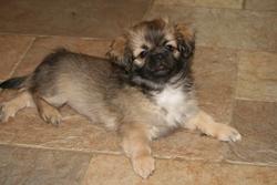 Gushi, chien Épagneul tibétain