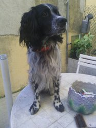 Guismo, chien Épagneul breton