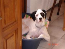 Guss, chien Épagneul français