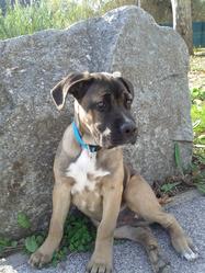 Guss, chien Cane Corso