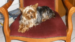 Guss, chien Yorkshire Terrier