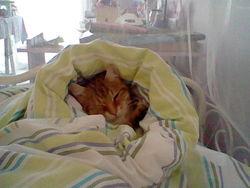Gustave, chat Européen