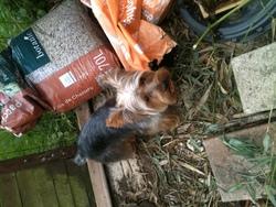 Gustave, chien Yorkshire Terrier