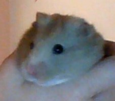 Gustave, rongeur Hamster