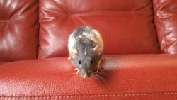 Gustave, rongeur Rat