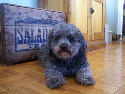 Gustave, chien Caniche
