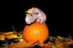 Gustave, rongeur Cochon d'Inde