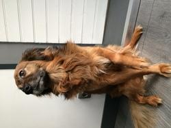 Guya, chien