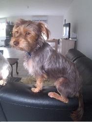 Guyguy, chien Yorkshire Terrier