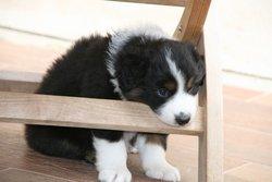 Guyps , chien Berger australien