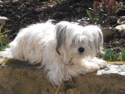 Guysmo, chien Berger des Pyrénées