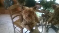 Guyzmo, chien Yorkshire Terrier