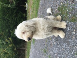 Guzzi, chien Bobtail