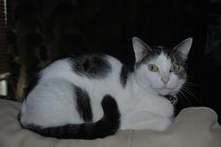Gwada, chat Européen