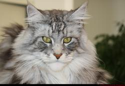 Gwada, chat Maine Coon