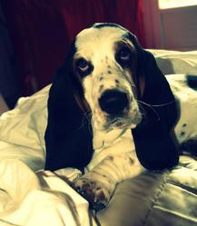 Gwapa, chien Basset Hound