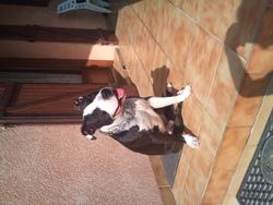 Gwash, chien American Staffordshire Terrier