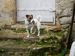 Gwash, chien Jack Russell Terrier