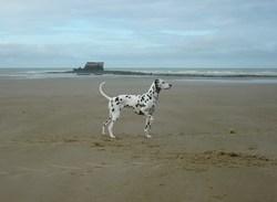 Gwash, chien Dalmatien