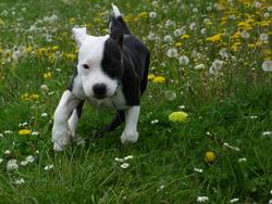 Gwash Lovely Bomber , chien Staffordshire Bull Terrier