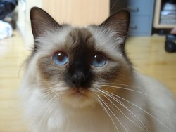 Gwash, chat Birman