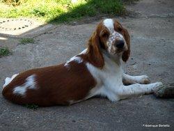 Gwen, chien Welsh Springer Spaniel