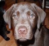 Gwen, chien Labrador Retriever